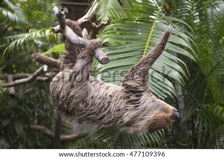 Young Hoffmann's two-toed sloth (Choloepus hoffmanni) climbing on the tree