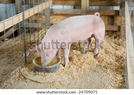 Young hog in barn stall. - stock photo