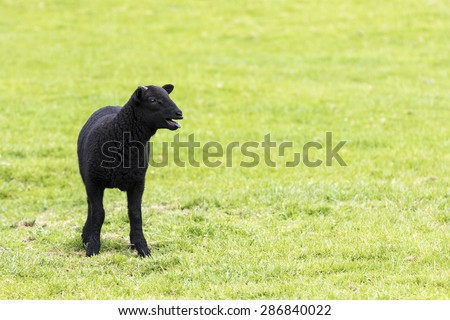 Young horned black lamb bleating, calling to its mother and staring to the right