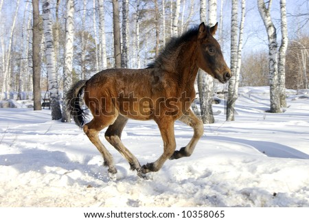young horse gallops fast at the snowy forest