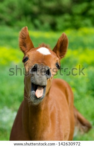 young horse with open mouth . It with a very funny expression on his face - stock photo