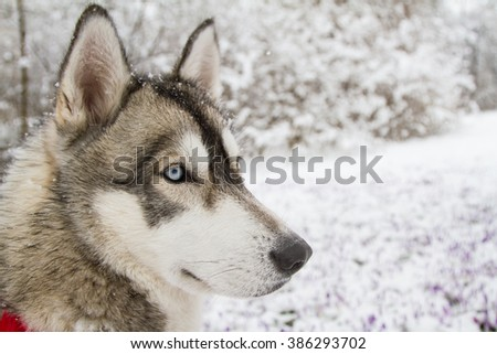 Young Husky in Winter
