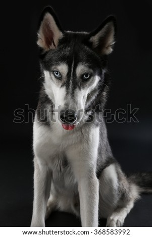 Young Husky sitting on dark background