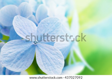 Young Hydrangea flower with spring green background. Extremely shallow depth of field for dreamy feel. - stock photo