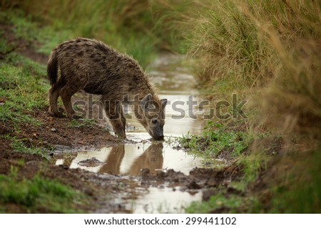 Young Hyena drinking from a stream
