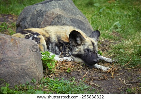 Young hyena tired after hunting and sleeping on the grass between two stones - stock photo