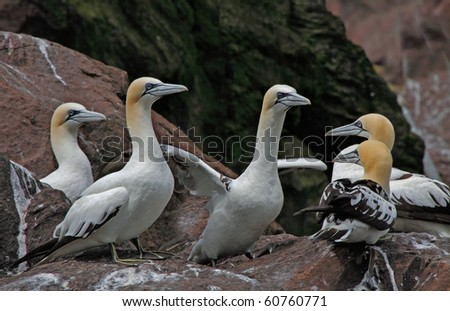Young immature Northern Gannets gather together on Bass Rock, an island off the coast of Scotland.