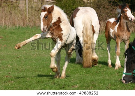 young Irish Cob foal has fun - stock photo