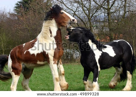 young Irish Cobs  playing - stock photo