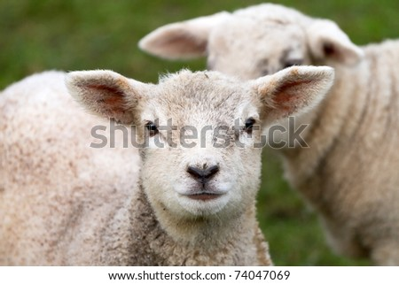 Young irish lamb - stock photo