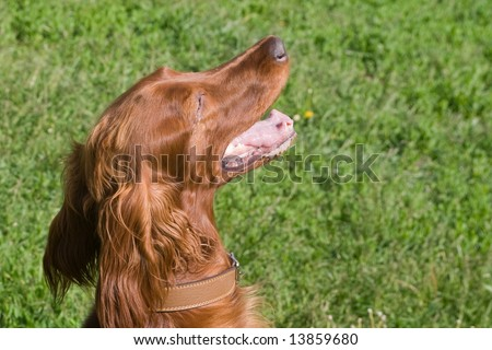 young irish setter on green field