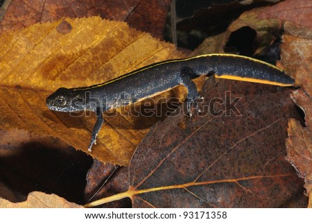 Young Italian Crested Newt in its underwater habitat