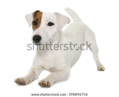 young jack russel terrier in front of white background