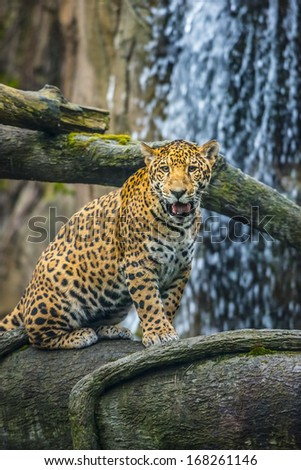 Young Jaguar sitting on the tree in front of the waterfall - stock photo