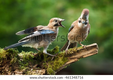 Young Jay bird wanting food from its parent, perched on a log close up