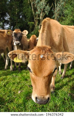 young jersey calf distorted by wide angle lens - stock photo