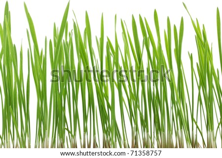 Young juicy green sprouts of the wheat - stock photo