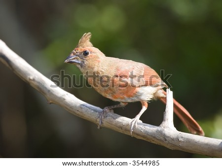 Young juvenile Northern Cardinal perched on a branch. - stock photo