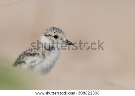 young Kentish plover - stock photo