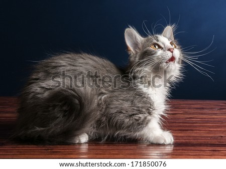 Young Kitten Cat Looking Up - stock photo