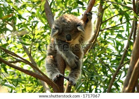 Young koala sleeping - stock photo