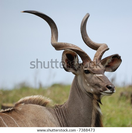 Young kudu bull - stock photo