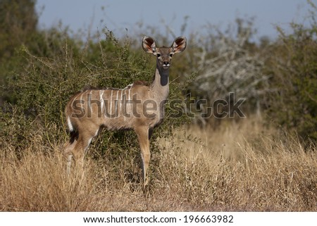 Young Kudu in the Kruger National Park