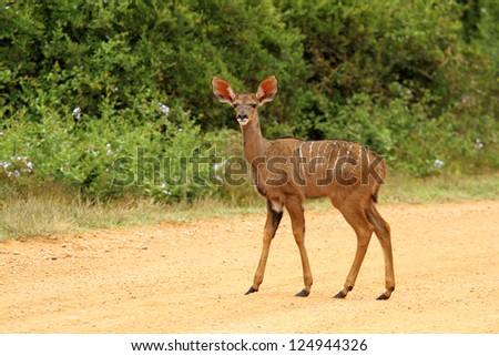 Young Kudu standing looking at camera - stock photo