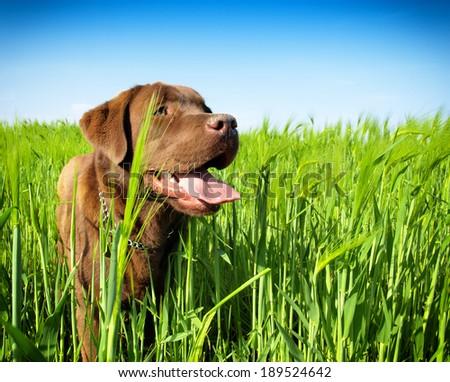 young labrador retriever - stock photo