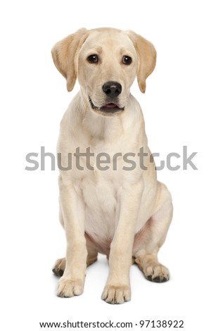 Young Labrador Retriever, 4 months old - stock photo