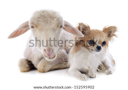young lamb and chihuahua in front of white background