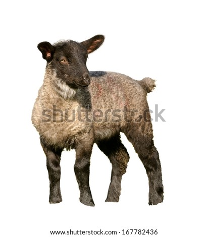young lamb frolicking on the meadow - stock photo