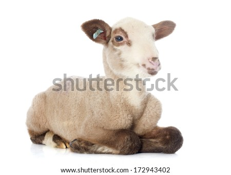 young lamb in front of white background - stock photo