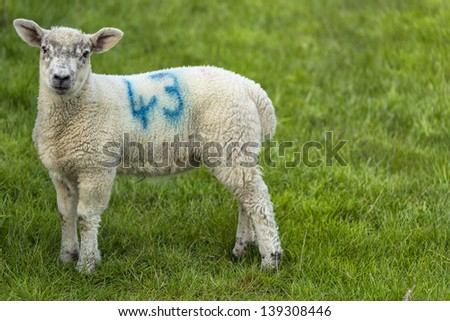 Young lamb in green field
