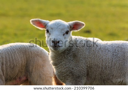 Young lamb in the field with a nice halo on the head and the coat. - stock photo