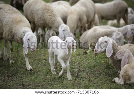 young lamb in the middle of the numerous flock of white sheep grazing