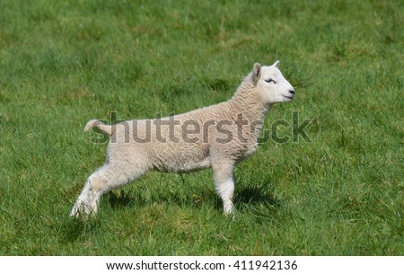 Young Lamb with Umbilical Cord Still Attached - stock photo