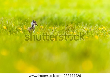 young lapwing in beautiful grassland - stock photo