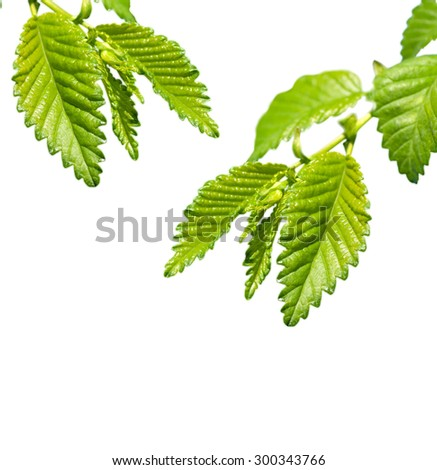 young leaves isolated - stock photo