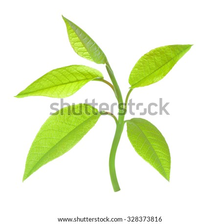 Young leaves isolated on a white background - stock photo