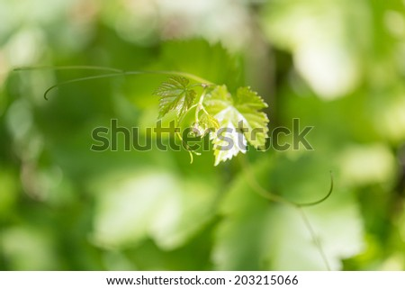 young leaves of the vineyard - stock photo