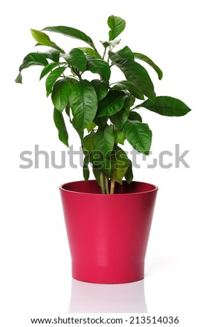 Young lemon tree in a pink pot on white background - stock photo