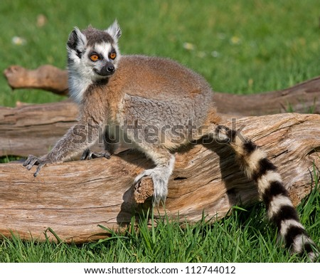 Young lemur sitting on a fallen trunk, on a lovely summer's day. - stock photo