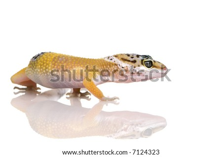 Young Leopard gecko in front of a white background