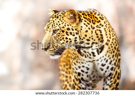 Young leopard in action of looking at something - stock photo