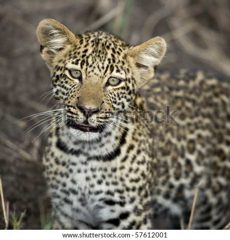 Young leopard in Serengeti, Tanzania, Africa - stock photo
