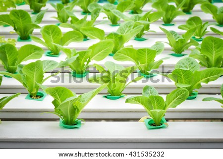 Young lettuce on plastic shelf in a row - stock photo