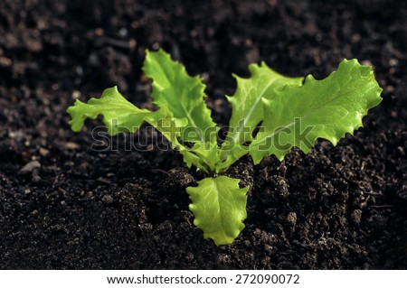 Young lettuce seedling growing on organic soil home gardening - stock photo