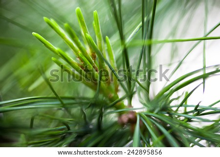 Young light green pine needles. Close up. - stock photo