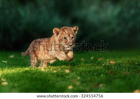 Young lion cub in the wild and green glass - stock photo